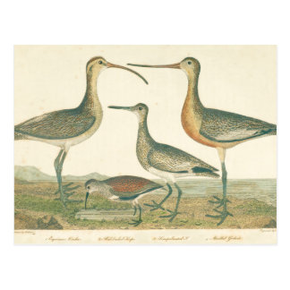 Antique Water Birds Marsh Illustration Postcard