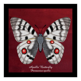 Apollo Butterfly Poster