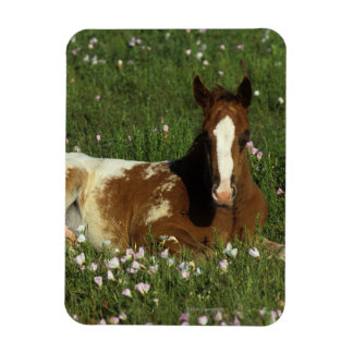 Appaloosa Foal Laying Down in Flowers Rectangular Photo Magnet