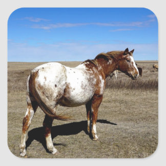 Appaloosa mare on the Canadian Prairie Square Sticker
