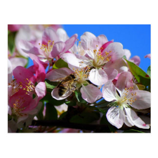 Apple Blossom and Honey Bee  Postcard