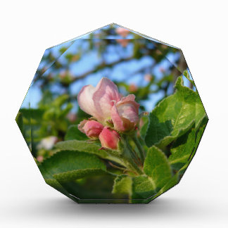 Apple blossom still closed