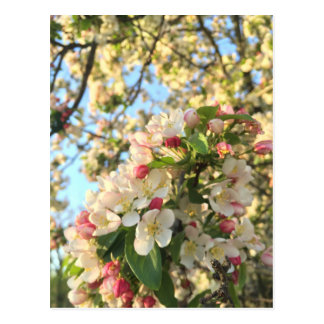 Apple Blossom Sunshine Postcard