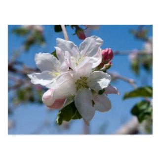 Apple Blossoms in Palisade, Colorado Postcard