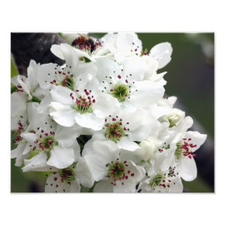 Apple Blossoms in Spring Photo Print