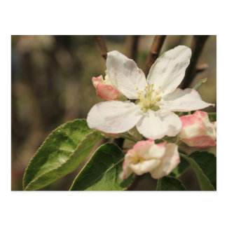 Apple Blossoms in Sunshine, Nature Photography Postcard