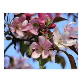 Apple Blossoms Postcard