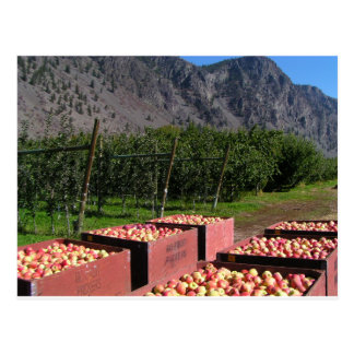 Apple Harvest ib southern BC, Canada Postcard