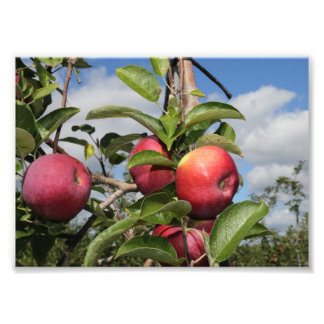 Apple Picking Season Photo Print