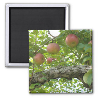 Apples Hanging On The Tree Magnet
