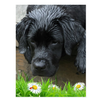 Appreciate the Little Things - Black Labrador Postcard