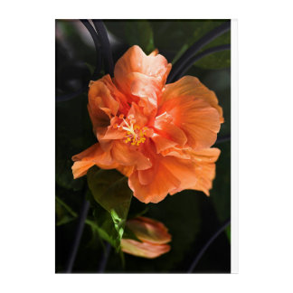 "Apricot Hibiscus Acrylic Wall Art, 10"" x 14"" Acrylic Wall Art"