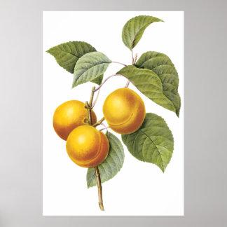 Apricot-Peach Poster