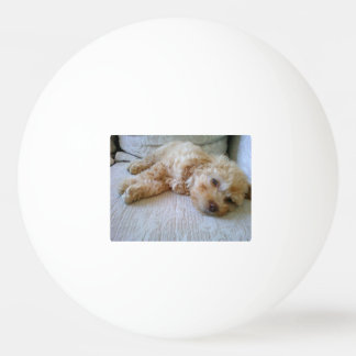 apricot Poodle laying.png Ping Pong Ball