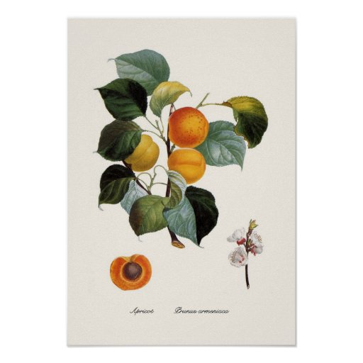Apricot Poster