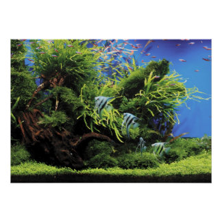 Aquarium of Freshwater Angelfish Poster