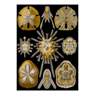 Aquatic Macro Life ~ Haeckel ~ Sea Urchins Poster