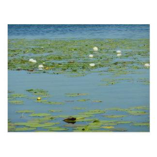 Aquatic Pads Postcard