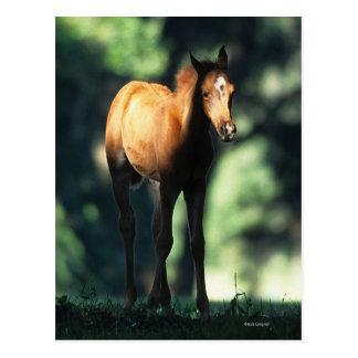 Arab Foal in the Trees Postcard