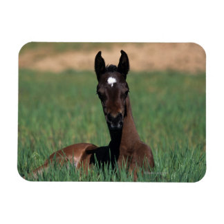 Arab Foal Laying Down Rectangular Photo Magnet