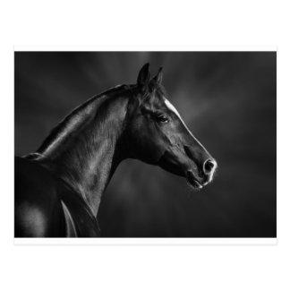 Arab Foal Postcard