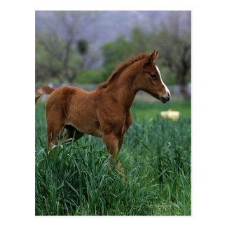 Arab Foal Standing Post Cards