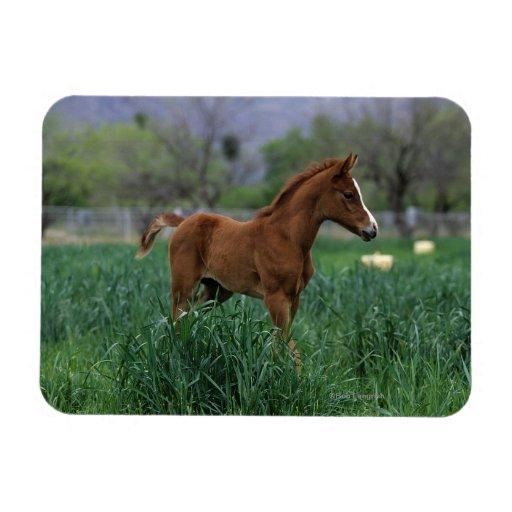 Arab Foal Standing Vinyl Magnets