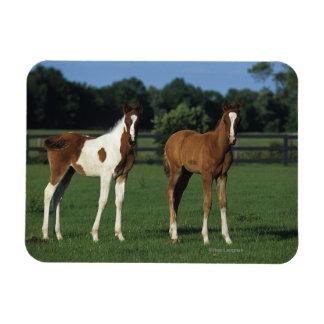 Arab Foals Standing in Grassy Field Rectangular Photo Magnet