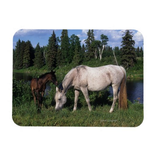 Arab Mare & Foal 2 Rectangle Magnets