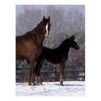 Arab Mare & Foal in Snow Postcard