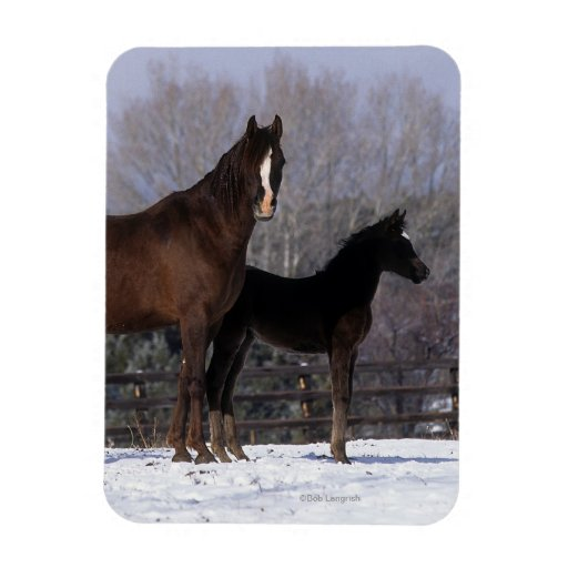Arab Mare & Foal in Snow Rectangle Magnets