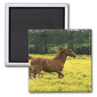 Arabian foal and mare running through square magnet