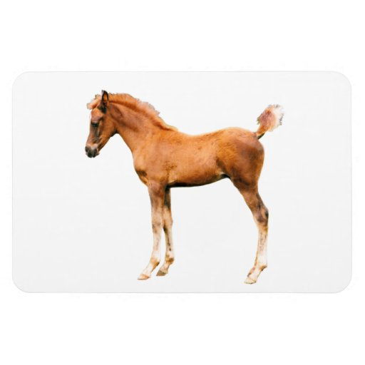 Arabian foal Premium Flexi Magnet
