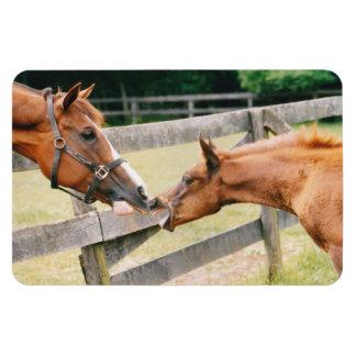 Arabian foal Quarter Horse mare Flexi Magnet