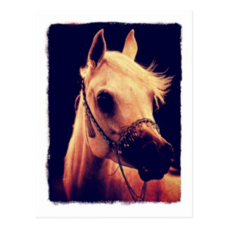Arabian Horse in a Show Halter Postcard