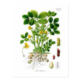 Arachis hypogaea (Peanut) Postcard