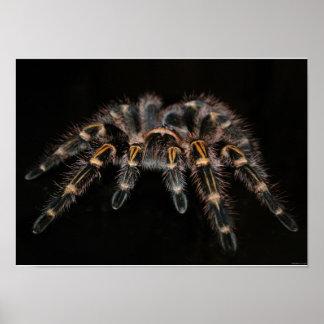 Arachnoïde velue de grande araignée de tarentule