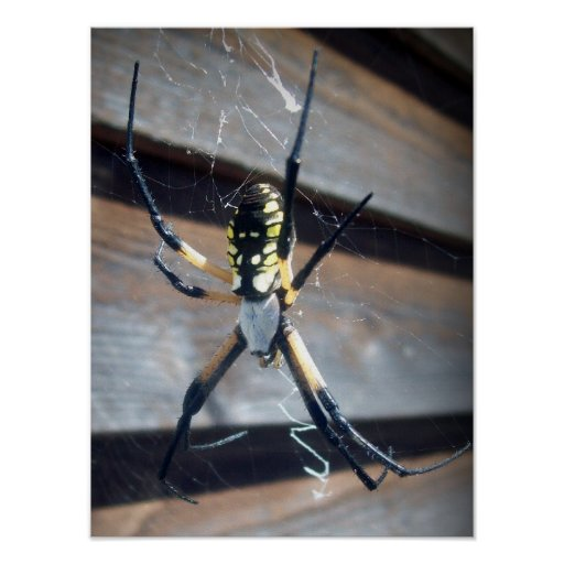 Araignée de jardin posters