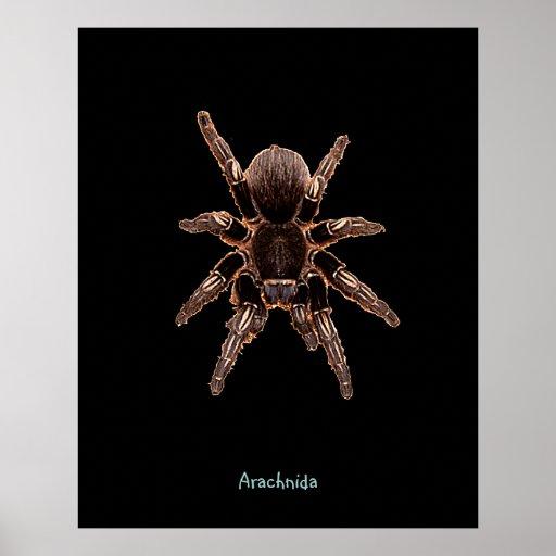 Araignée de tarentule posters