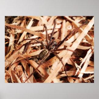 Araignée femelle de clochard posters