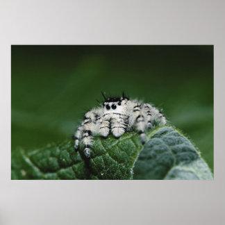 Araignée sautante de Metaphid Poster