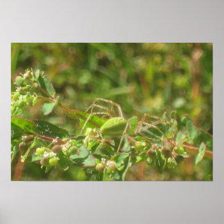 Araignée verte de Lynx Affiche