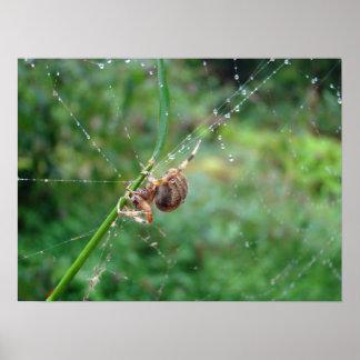 Araneus - araignée de tisserand de globe poster