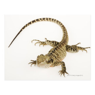 Arboreal agamid species native to Eastern 2 Postcard