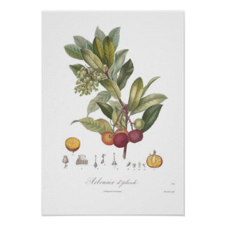 Arbutus unedo-Stawberry tree Poster