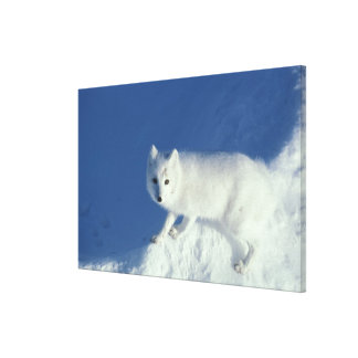 Arctic fox Alopex lagopus) An arctic fox, in Gallery Wrapped Canvas