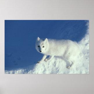 Arctic fox Alopex lagopus) An arctic fox, in Poster
