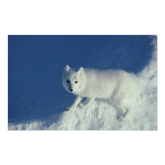 Arctic fox Alopex lagopus An arctic fox in Posters