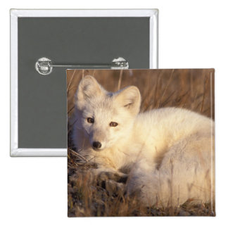 arctic fox, Alopex lagopus, coat changing from 2 2 Inch Square Button