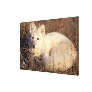 arctic fox, Alopex lagopus, coat changing from 2 Stretched Canvas Print